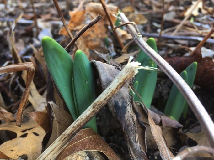 daffodils-pushing-up-through-brown-leaves