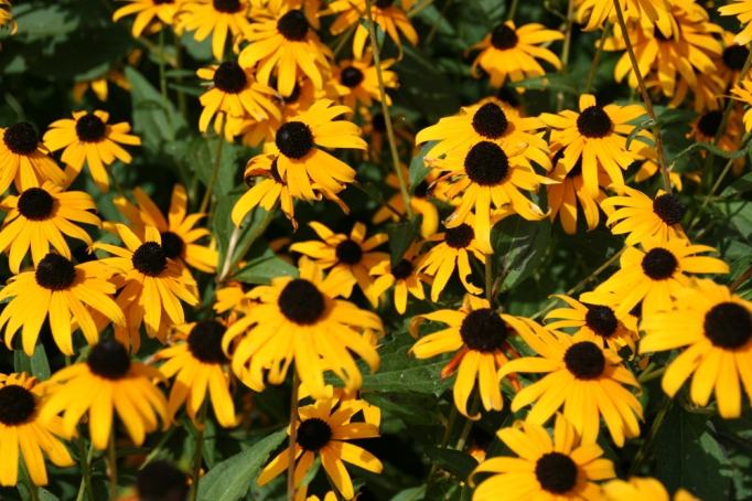 black-eyed-susans-for-blog