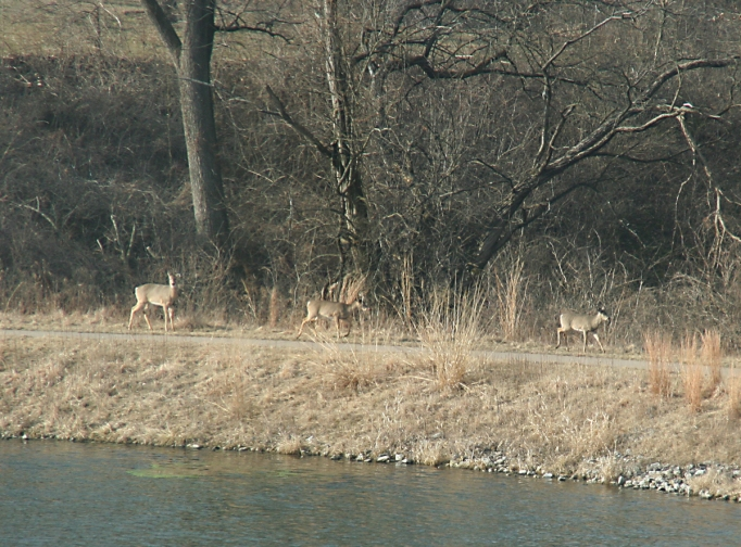 deer-walking-along-lake