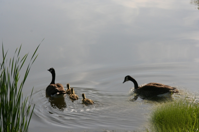 geese and goslings in lake for fb