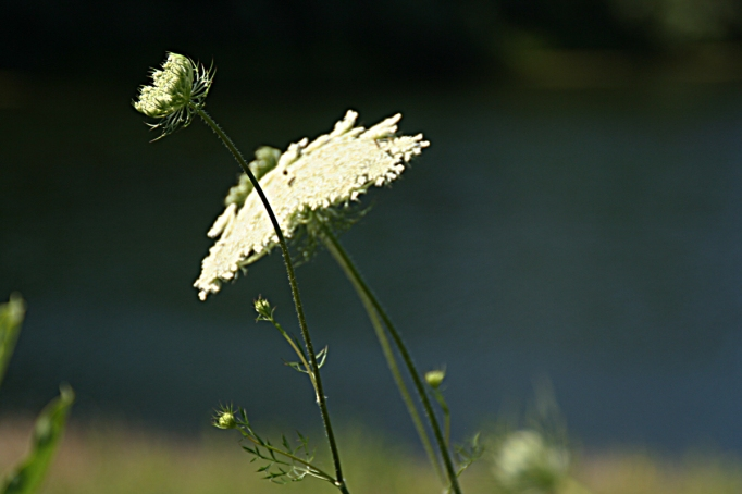 queen annes lace for blog